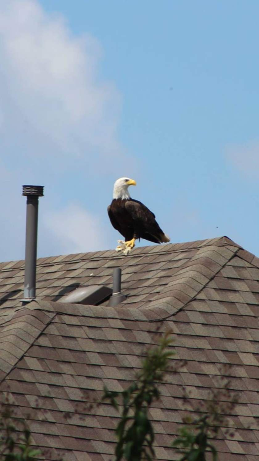 Bald eagle in Texas